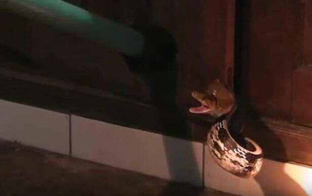 Idosa escuta sons na cozinha e encontra esconderijo de cobra venenosa em seu armário