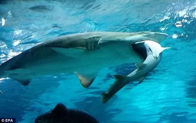 Vídeo incrível flagra momento em que tubarão engole outro