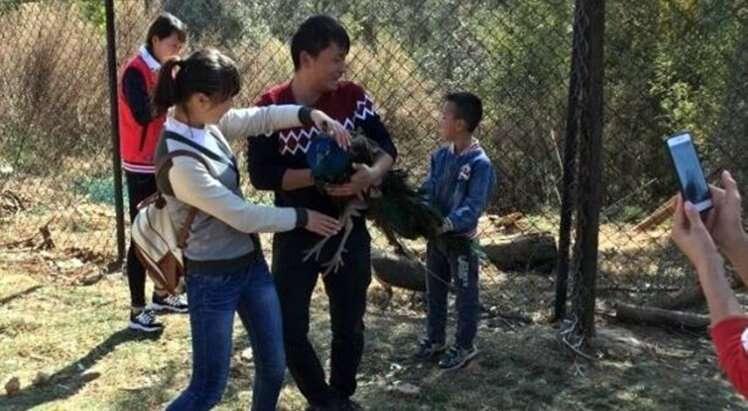 Pavão morre após visitantes de jardim zoológico forçá-lo a tirar selfies