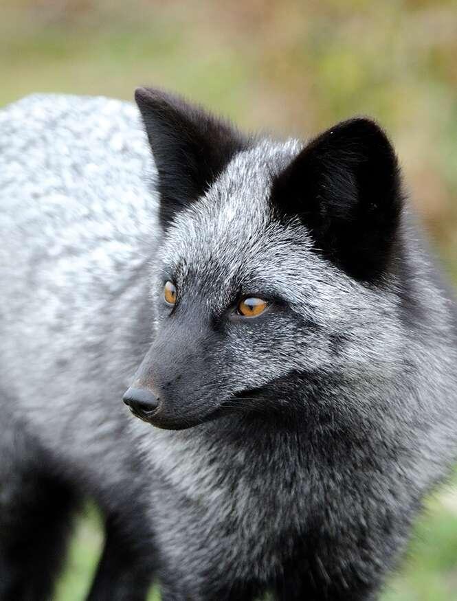 Belas imagens de raposas negras
