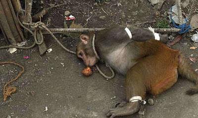 Macaco amarrado e preso