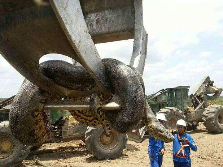 Vídeo repercute na web ao mostrar gigante cobra de dez metros sendo capturada no Brasil
