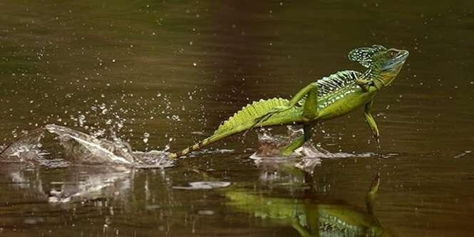 Animais capazes de caminhar sobre a água