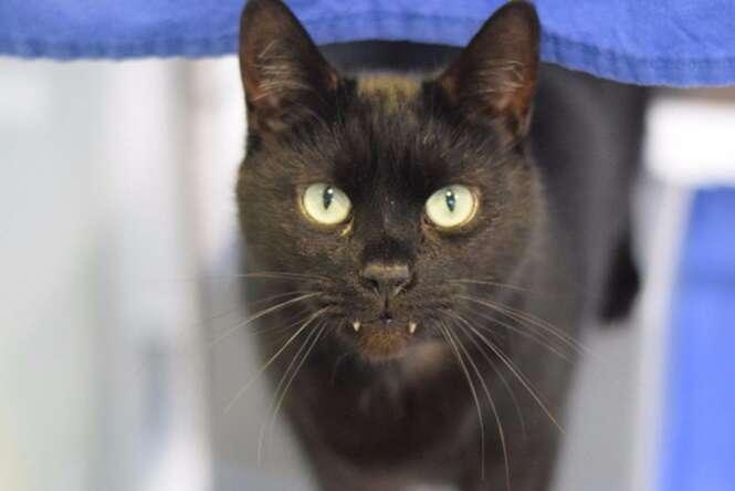 Gato vampiro é entregue a centro de animais
