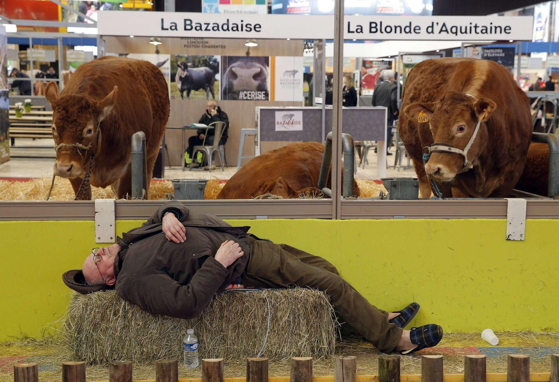 Foto de vaca surpresa ao ver fazendeiro dormindo sobre seu feno bomba na web