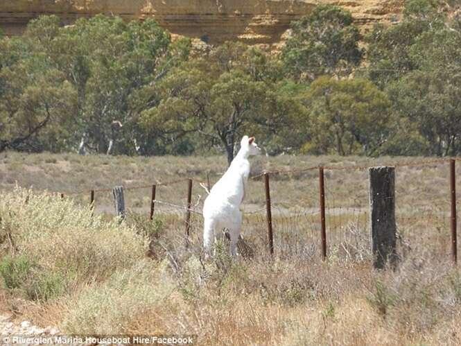 Raro canguru branco é encontrado na Austrália