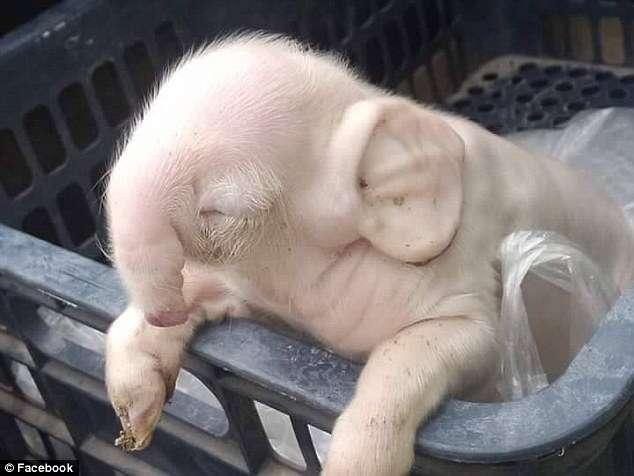 Leitão nasce com tromba e orelhas de elefante