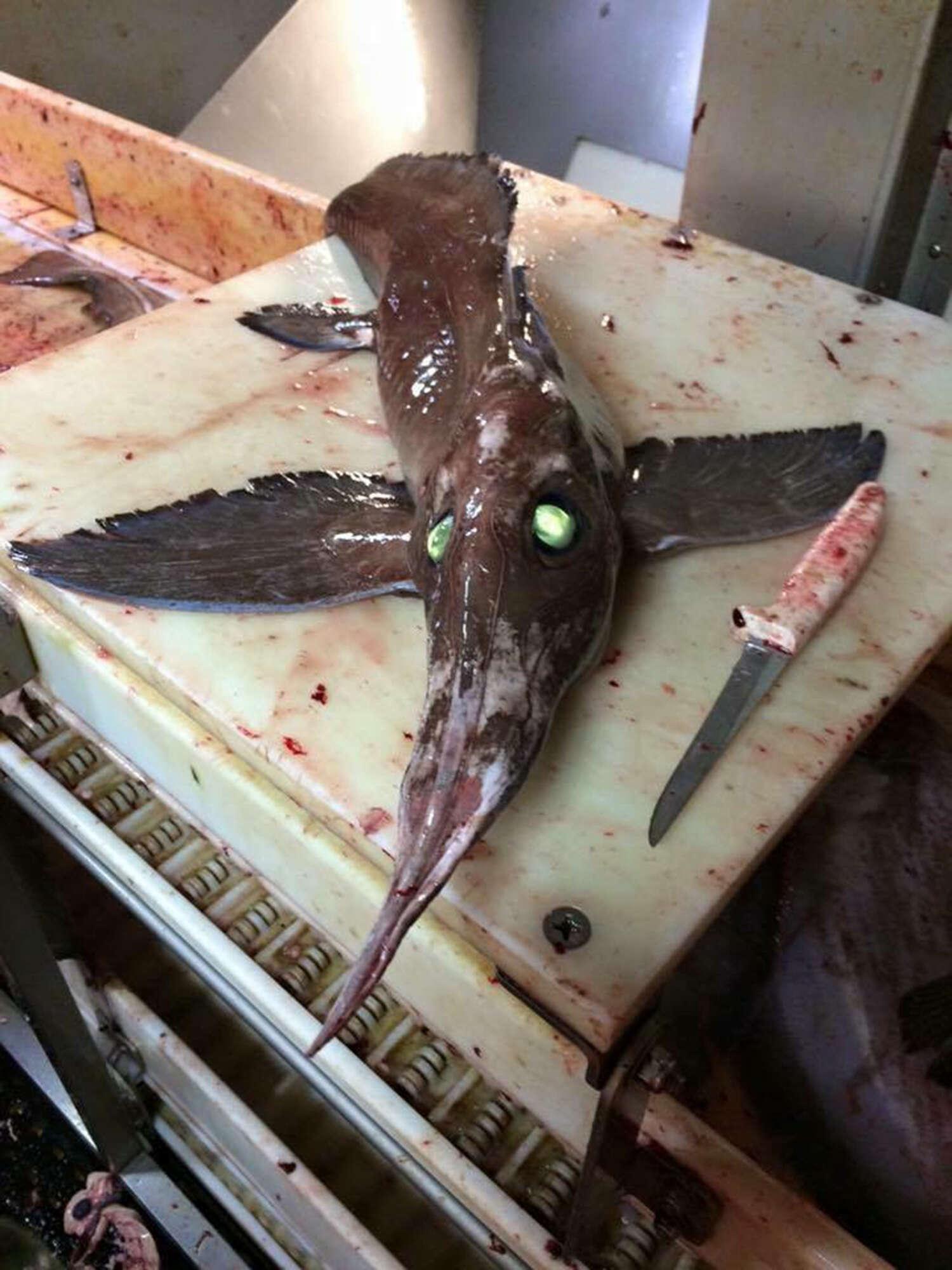 Peixe alienígena de olhos verdes brilhantes intriga pescador após ser capturado