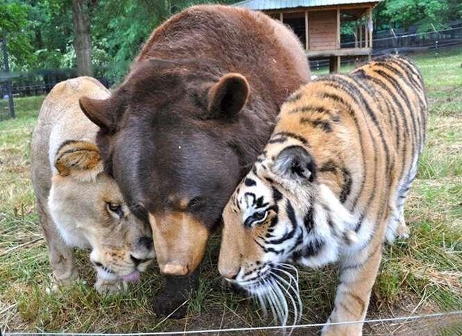 Urso, leão e tigre demonstram que é possível existir amizade entre espécies