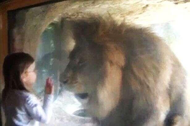 Menina tenta beijar leão em zoológico e é surpreendida por reação violenta do animal