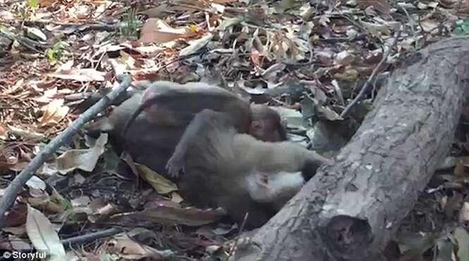 Vídeo comovente mostra momento em que filhote de macaco se agarra ao corpo da mãe morta atropelada