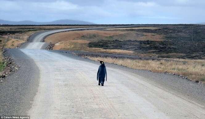 Pinguim se perde de sua colônia e tenta pegar carona de volta para casa em estrada nas Malvinas