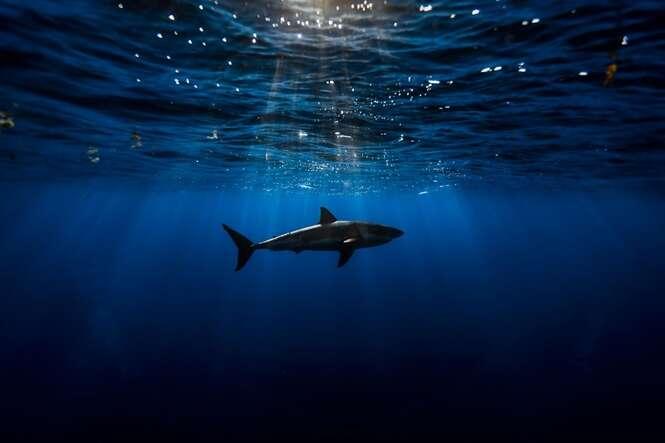 Fotógrafo registra imagens incríveis de tubarões brancos