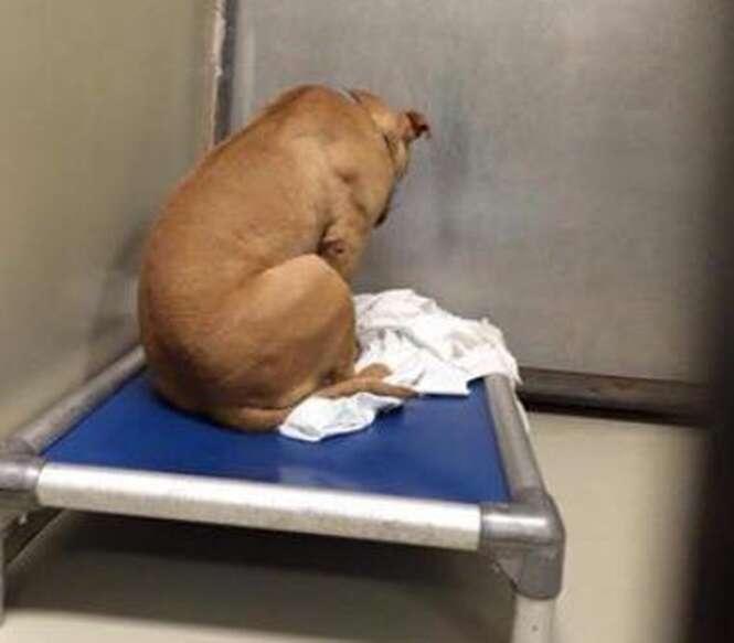 Pitbull vive desolado apenas olhando para a parede após se frustrar com tentativa de adoção