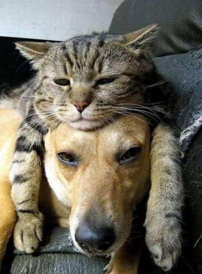 Gatos que usam seus amigos cães como almofadas