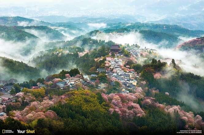 Fotos premiadas de cerejeiras japonesas