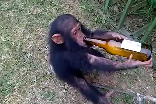 Vídeo chocante mostra chimpanzé viciado em cerveja tendo acesso de fúria