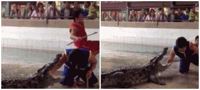 Homem cai em piscina cheia de crocodilos após caminhar na borda durante exibição em zoológico