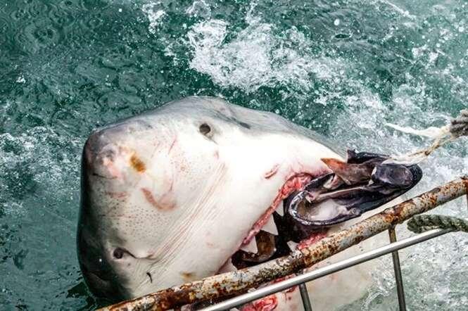 Fotógrafo registra momento em que enorme tubarão branco devora indefeso filhote de foca