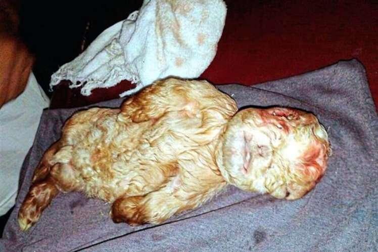 Cabrito nasce com rosto humano na Malásia