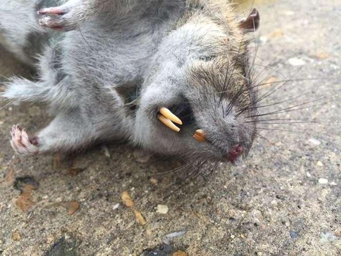 Rato gigantesco é capturado na Inglaterra