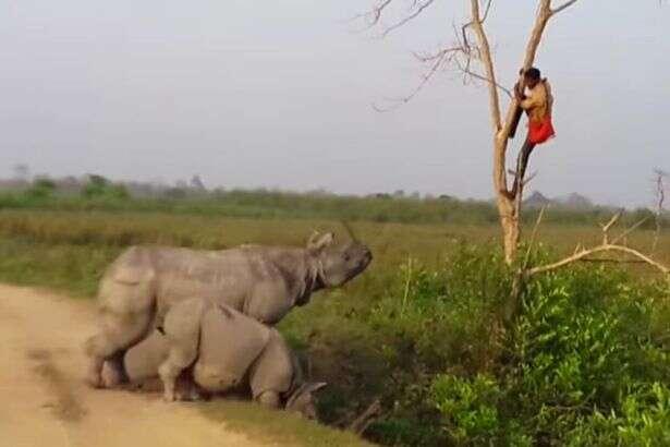 Homem se refugia em árvore para não ser pego por rinoceronte que o perseguia