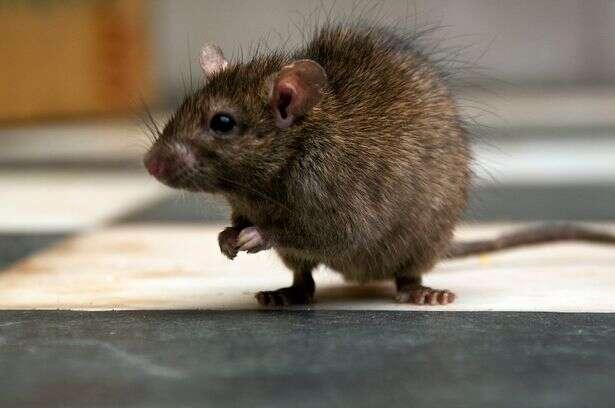 Idoso é levado a hospital após ser mordido no traseiro por rato