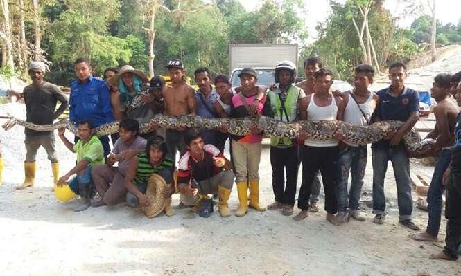 Cobra gigantesca é capturada na Malásia
