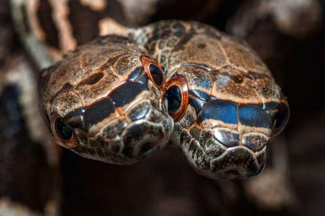 Cobra de duas cabeças possui um lado extremamente agressivo