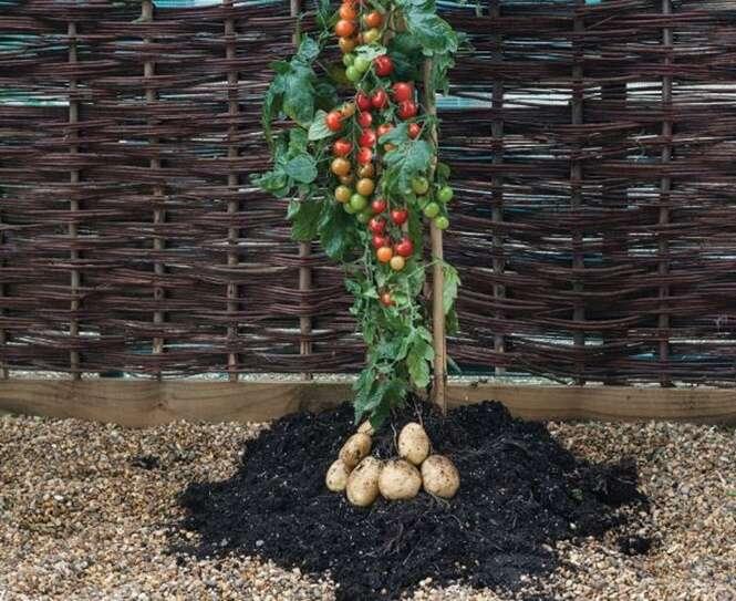 Planta que produz tomates e batatas é comercializada em supermercados do Reino Unido