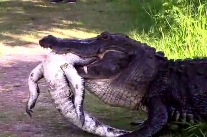 Vídeo flagra gigantesco jacaré devorando outro animal da mesma espécie