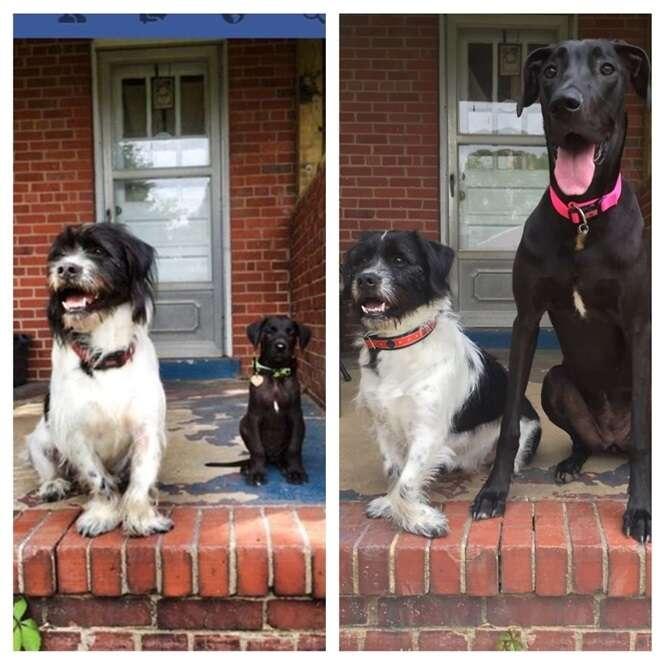 Antes e depois de cães de estimação
