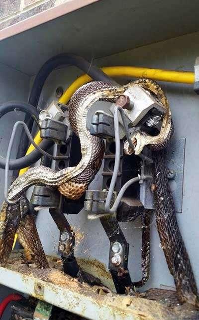 Enorme cobra morre eletrocutada enquanto deslizava dentro de quadro de energia em residência