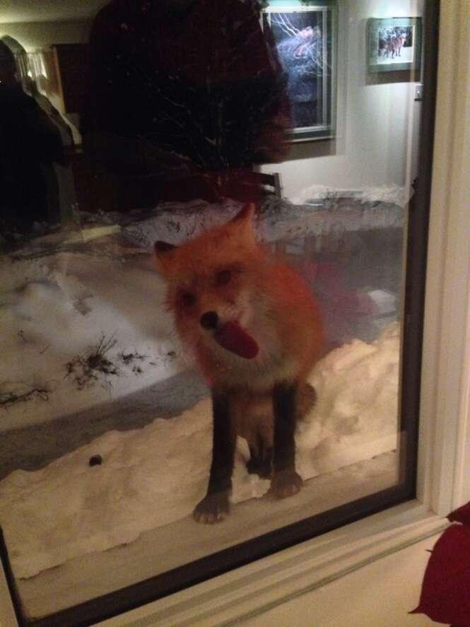 Animais que adoram lamber janelas