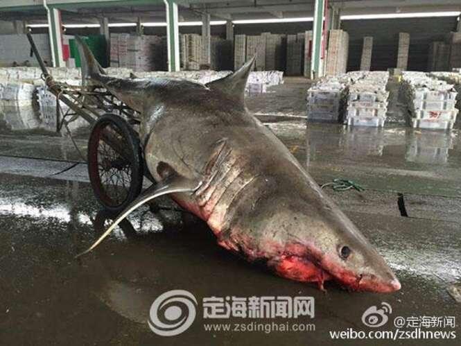 """Pescador captura """"acidentalmente"""" tubarão gigante de meia tonelada"""