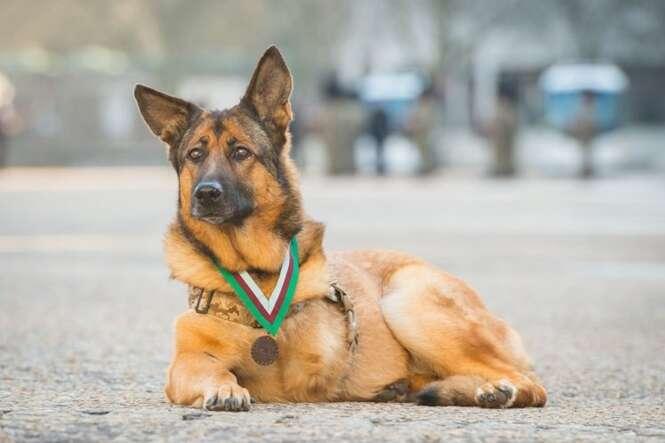 Cão corajoso que perdeu uma perna enquanto servia exército recebe medalha de honra