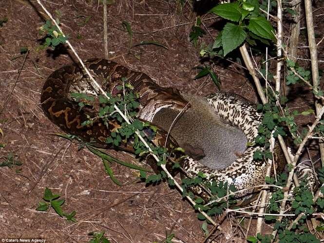 Cobra píton devora macaco antes de levá-lo para o mato