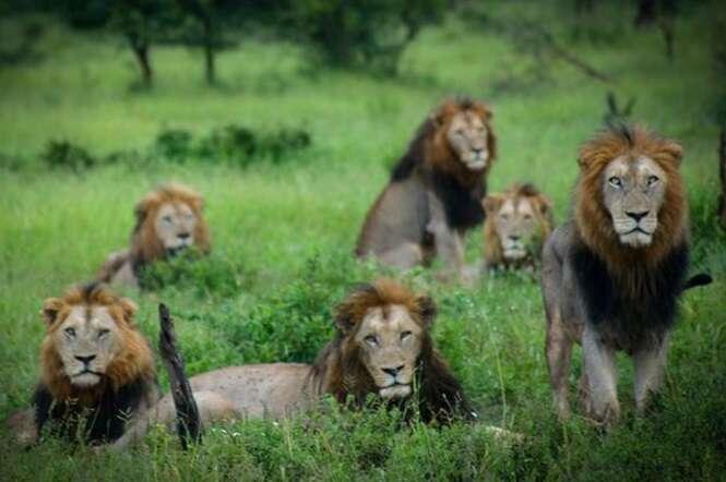 Fotógrafo captura cena rara reunindo seis leões machos na mesma imagem