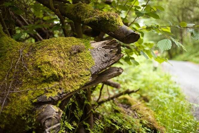 Você consegue ver um urso oculto nesta árvore?