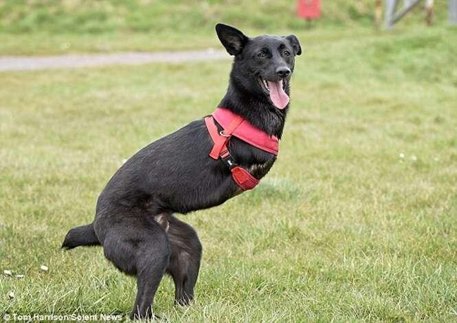 Cão que perdeu as patas dianteiras após ser vítima de violência brutal supera limites