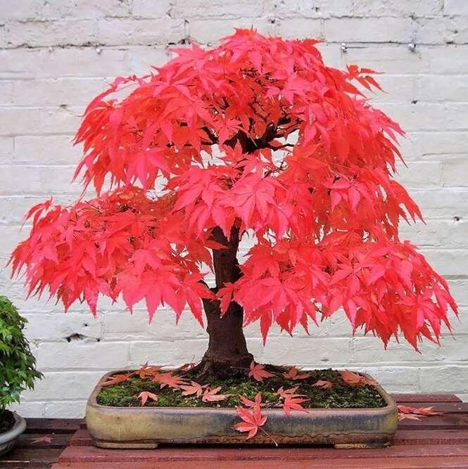 As mais belas árvores Bonsais