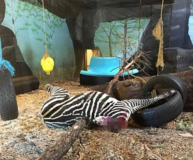Zoológico causa fúria após decapitar zebra saudável para alimentar tigre