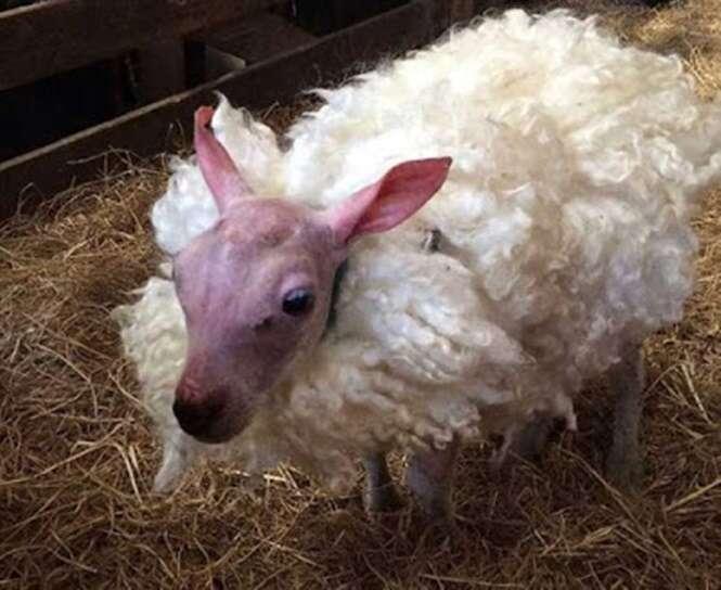Ovelha nasce sem lã em raro fenômeno