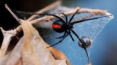 Homem é hospitalizado após levar picada de aranha venenosa em seu pênis