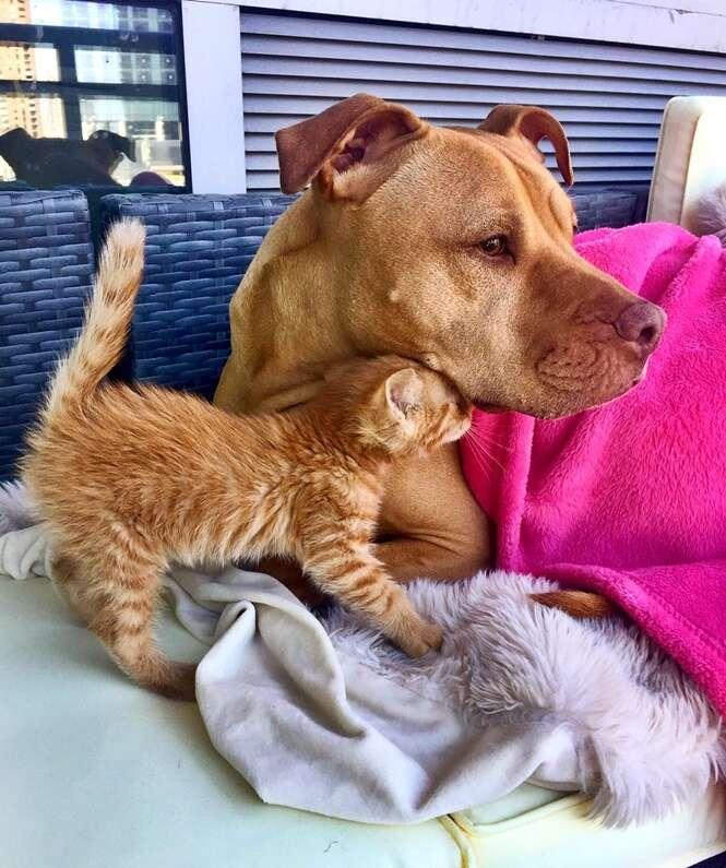 Amizade entre pit bull e gatinha vai derreter seu coração