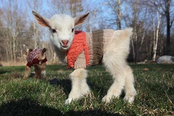 Cabras recém-nascidas ganham roupas de lã para suportar o frio