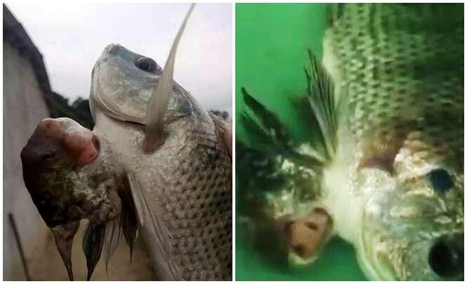 """Vídeo: peixe """"siamês"""" nasce na China e atrai visitantes curiosos"""