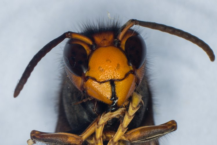 Cientistas recebem para permitirem que abelhas piquem seus pênis