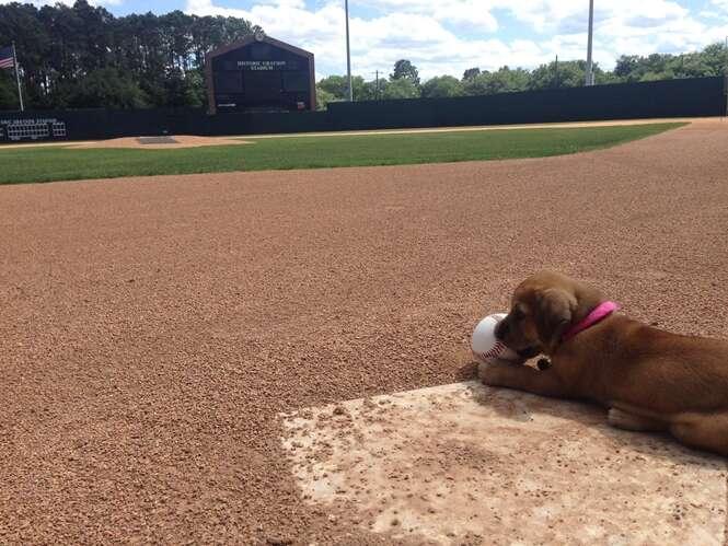 Cão abandonado ganha emprego como mascote de time amador de beisebol