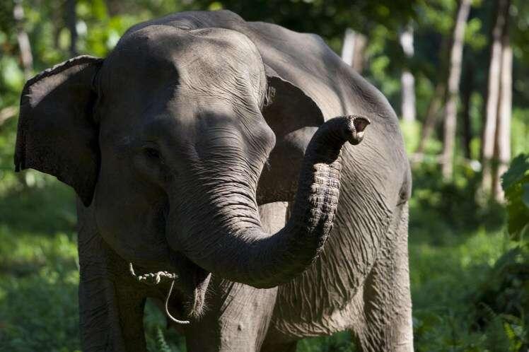 Elefante se irrita ao ser fotografado e mata mulher na Indonésia